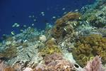 New Hope for Coral Triangle